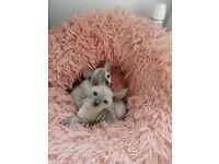 Pedigree Cornish Rex kittens - GCCF