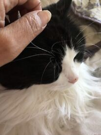 Gorgeous Long Haired Cat - Free to a good home