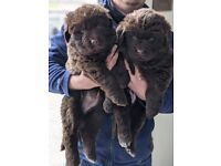 Stunning chocolate ikc Newfoundland puppies