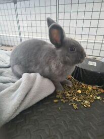 Netherland dwarf rabbit/bunny