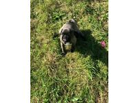 2 gorgeous pug puppies for sale.