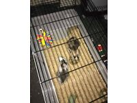 2 small female rabbits for sale with cage included