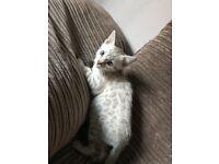 Full pedigree blue eyed snow Bengal kittens