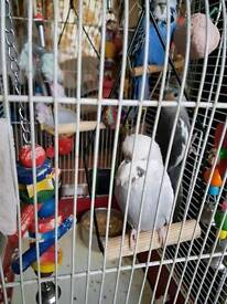 Two lovely Exhibition budgies for sale and i cocktail