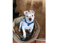 Blue/white staffy pup 4 month old