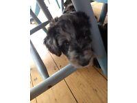 Bordoodle F1 pups miniature poodle x collie