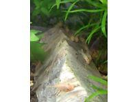 Baby Gold / Lemon Blue Eyed Plecos, Bottom Feeding Aquarium Bristle Nose, Bushy Plecostomus Catfish
