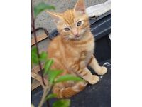 11 week old Female and Male kittens, Ginger Tom