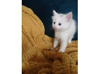 Calico white kittens with sky blue eyes