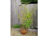 Bamboo plant in a terracotta pot (with free Echium plant included!)