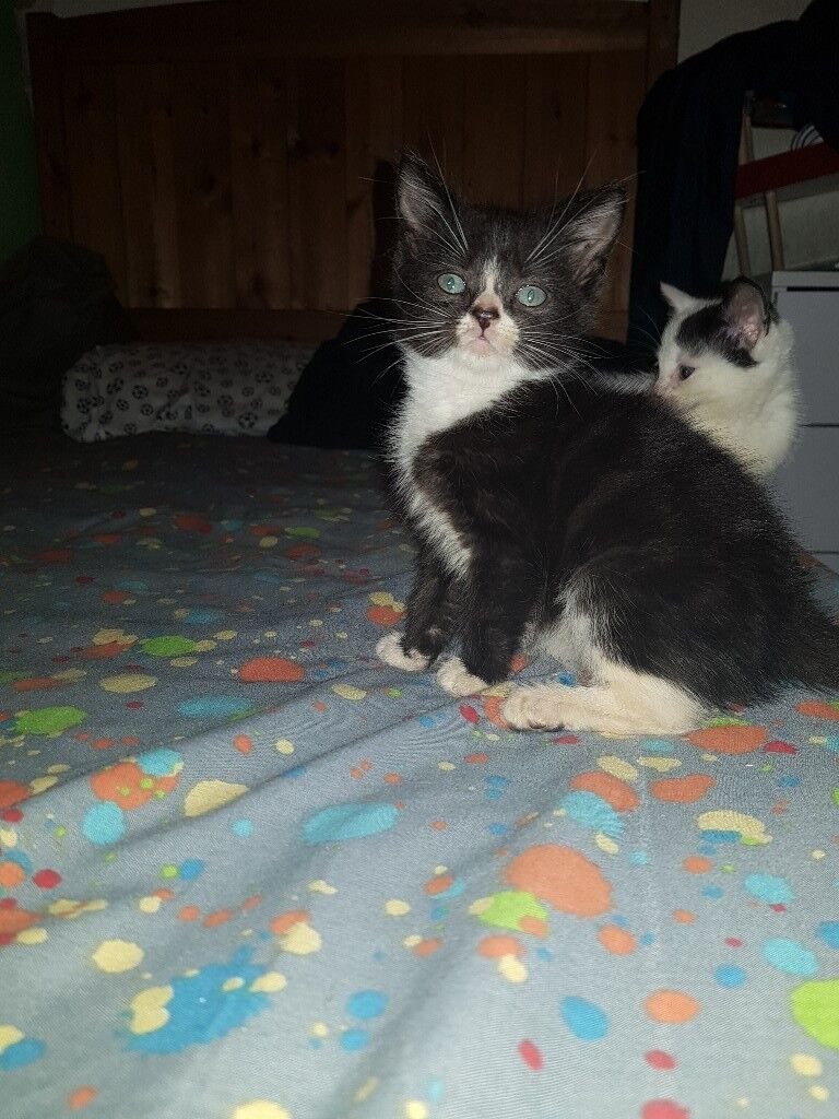 2 kittens for sale one boy one girl 8 weeks on the 18th