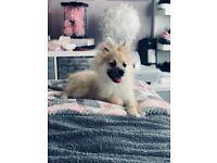 5 month old Pomeranian boy