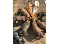 Deer Collie Grey Lurcher Pups