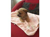 Miniature Shih Tzu x Chihuahua boy pup