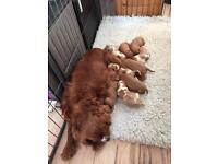 Kc reg cavalier King Charles puppy's