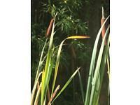 FREE Bulrushes for garden pond