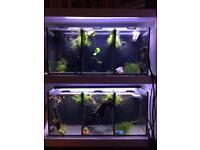 2 x aqua one trio Betta tanks, 5 x Betta fish, lots of Betta accessories