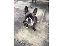 French bulldog bitch for sale -10 months old