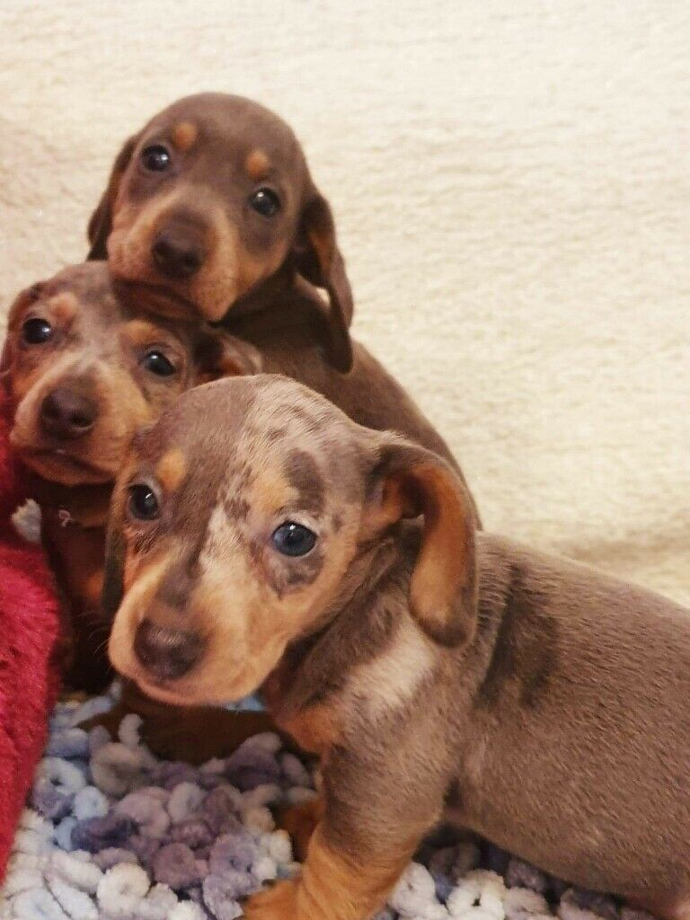 Dachshund pups Blue dapple | in Rochdale, Manchester | Gumtree