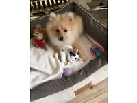 Rehoming my Pomeranian and my cat.