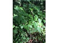 Blackcurrant Plants x 8 - only 4 left