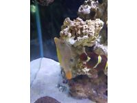 Blue spotted puffer marine fish