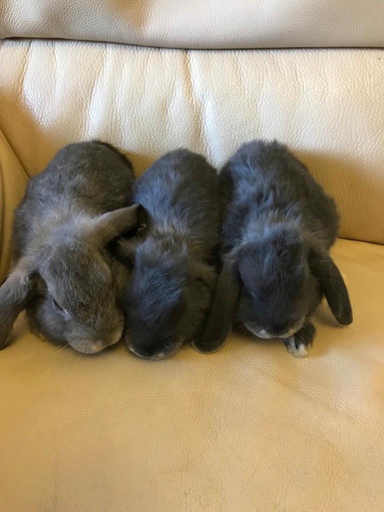 9 weeks old rabbits