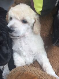 Standard Poodle Dog Puppy