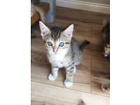 8week old litter trained tabby kitten ready for a lovely home