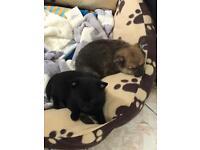 Pomeranian x Chihuahua Pomchi puppies