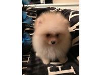 Beautiful TeddyBear Pomeranian Boy Available.