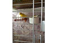 Canarys & large cage.