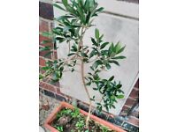 Mature Hardy Olive plants various height Stays Outside