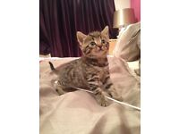 Beautiful Bengal Kitten ready now
