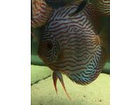 Blue turquoise discus 6 inch