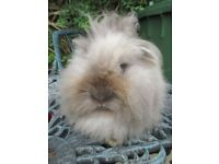 10 months old doe Lionhead Rabbit ready to go to a 5* home