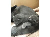 Silver and black Siamese kittens for sale