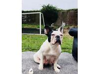 FRENCH BULLDOG PUPPIES - ONLY 3 LEFT - 100% PURE BRED