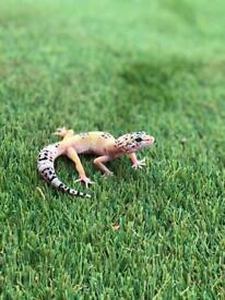 Various Leopard Geckos For Sale