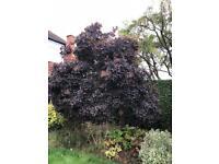 Mature purple smoke cotinus bush/tree