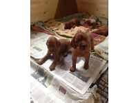 KC registered Irish Setter puppies for sale