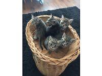 3 cross egyptian mau kittens left!!
