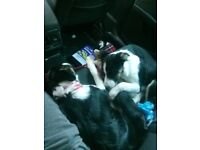 I have two border collie 6month old puppies