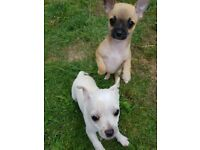 Chihuahuas puppies for sale