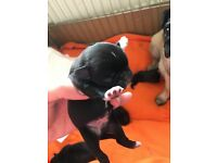 Black Pug puppy Kc Registered