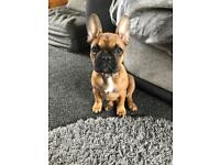 Female kc reg frenchie for sale