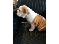 British Bulldog Pups - For Sale