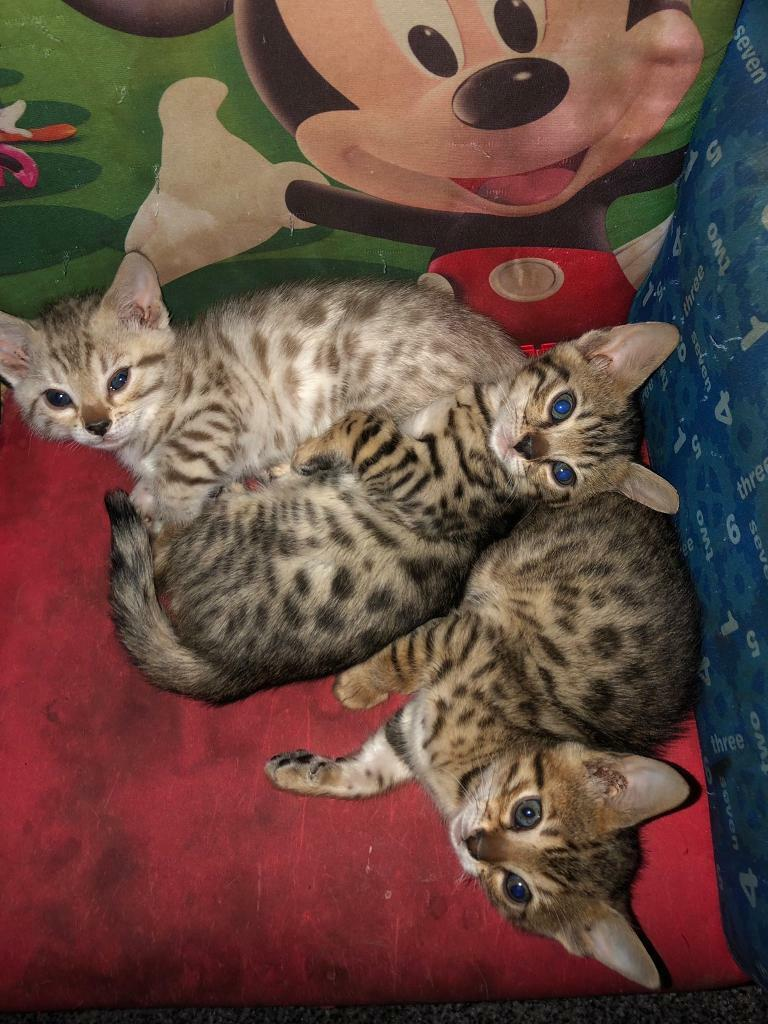 Bengal kittens | in Pontypridd, Rhondda Cynon Taf | Gumtree
