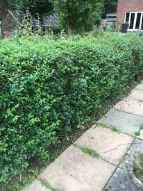 Privet Hedge - Ligustrum Ovalifolium Hedging. Approx 15 healthy plants. Approx 2ft x 4ft each.