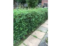 Privet Hedge - Ligustrum Ovalifolium Hedging. Approx 13 healthy plants. Approx 2ft x 4ft each.